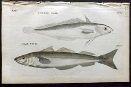 Pennant 1776 Antique Fish Print. Forked Hake, Coal Fish
